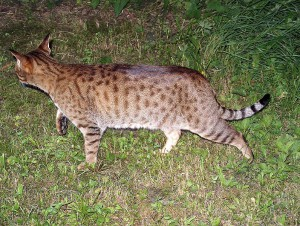 796px-ocicat-on-the-move.jpg