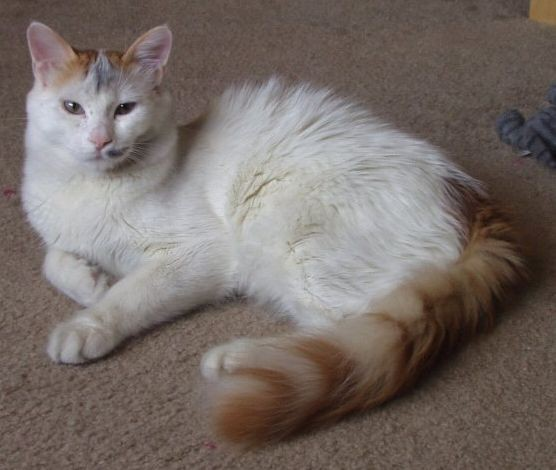 turkish_van_example2.jpg
